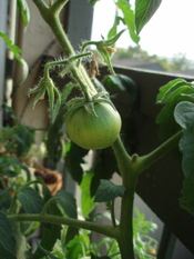 727_tomato_progress