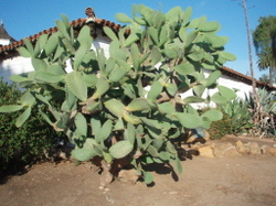 Old_town_cactus