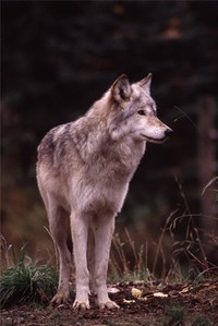 Wolf_photo_by_alan_bauer